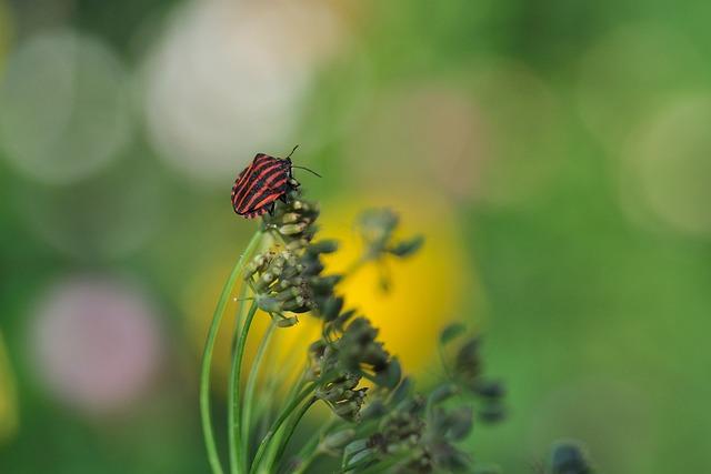 Strip Bug, Graphosoma Lineatum, Bug, Pentatomidae