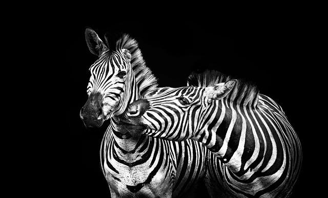 Zebras, Stripes, Black And White, Striped, Animal