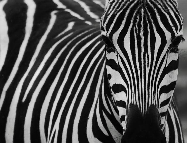 Zebra, Black, Black And White, Zebra Stripes, Striped