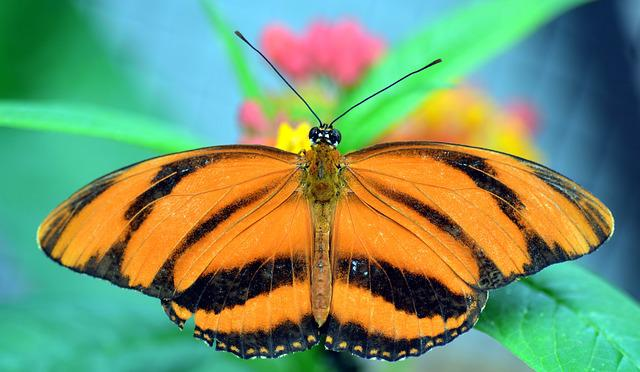 Striped Passion Flower Butterfly, Dryadula Phaetusa