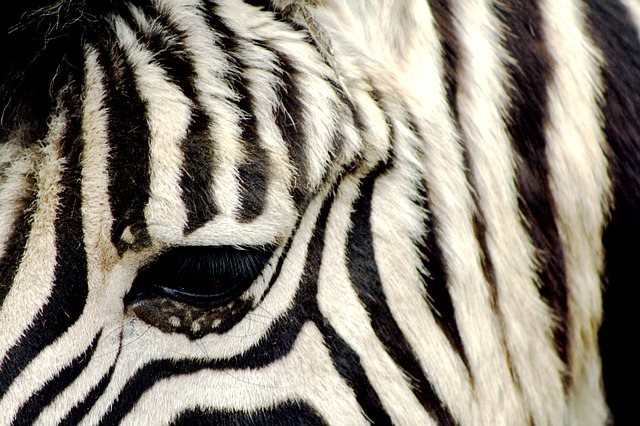 Zebra, Zoo, Antwerpen, Striped