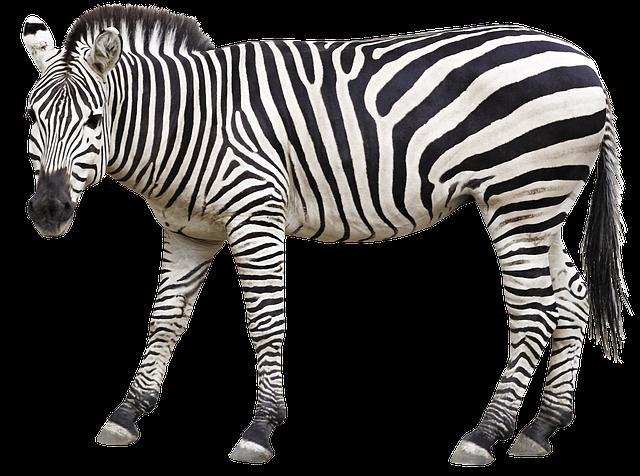 Zebra, Animal, Mane, Stripes, Africa, Safari, Horse