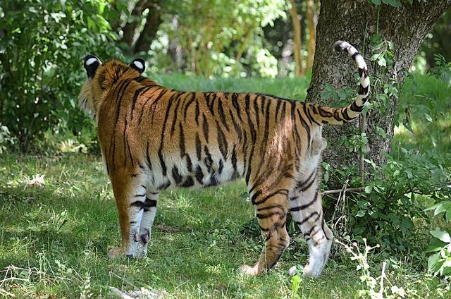 Tiger, Siberian Tiger, Animal Man, Stripes, Asia, Man