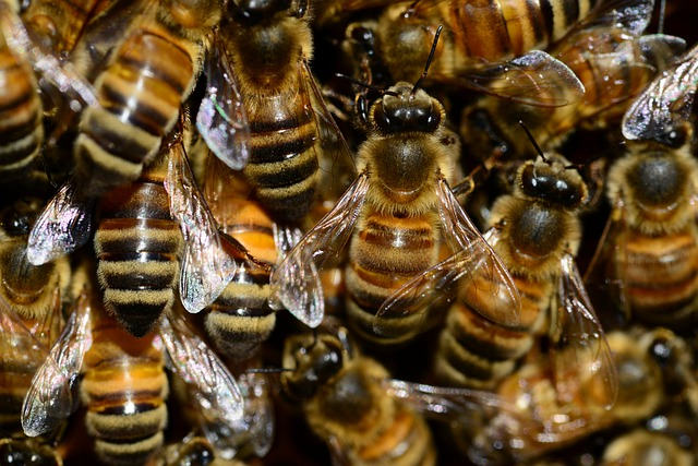 Honey, Bee, Buckfast, Insect, Wings, Eyes, Stripes