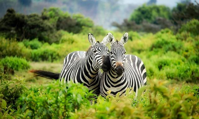 Zebras, Pair, Couple, Stripes, Striped