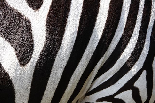 Animal, Zebra, Stripes, Mammal, Equine, Wildlife
