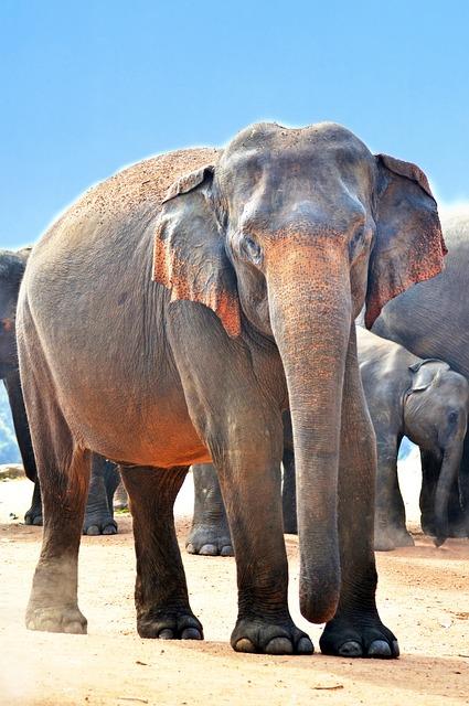 Indian Elephant, Elephant, Jumbo, Strongest