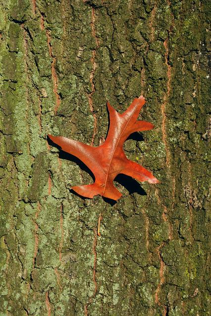 Baustamm, Tree Bark, Oak Leaf, Autumn, Structure, Close