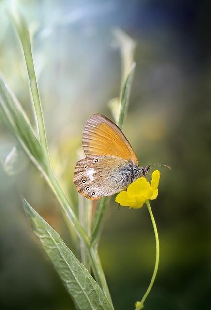 Butterfly, Strzępotek, Strzępotek Glicerion, Insect