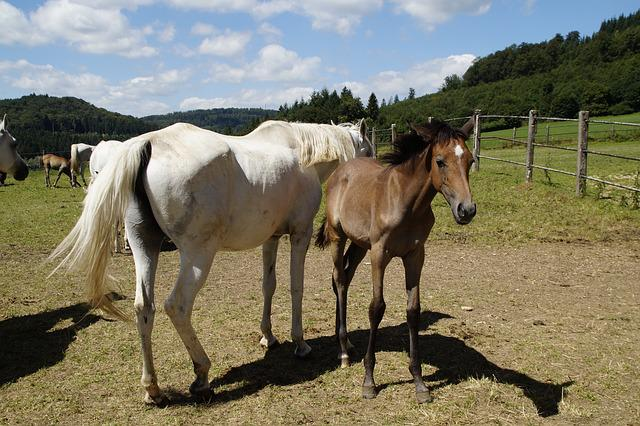 Country Stud, Stud, Mare Herd, Flock, Mare, Arabs