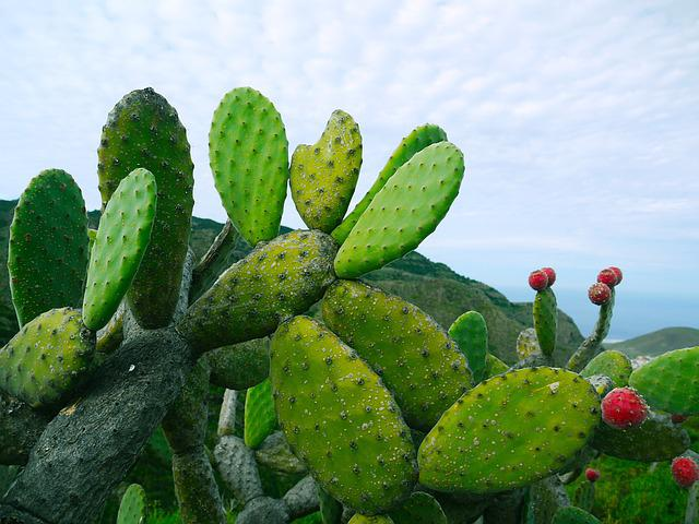 Prickly Pear, Opuntia, Succulent, Cactus, Members, Figs