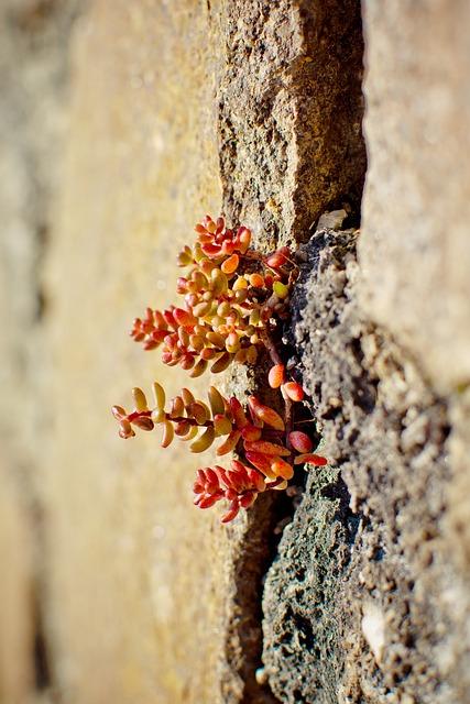 Alpine Stonecrop, Sedum Alpestre, Stonecrop, Succulent