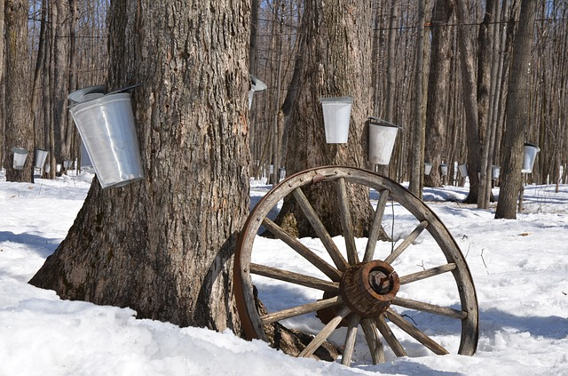 Maple Syrup, Tree, Maple, Syrup, Sap, Sugar, Spring