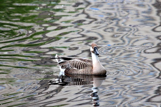 Goose, Suhonos, Anser Cygnoides, Waterfowl, Birds