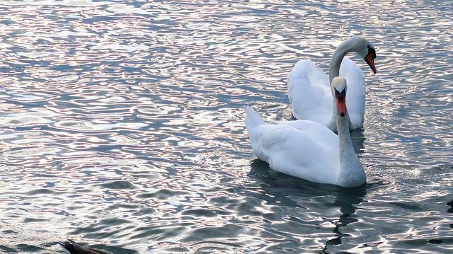Lake Leman, Montreux, Suisse, Swan