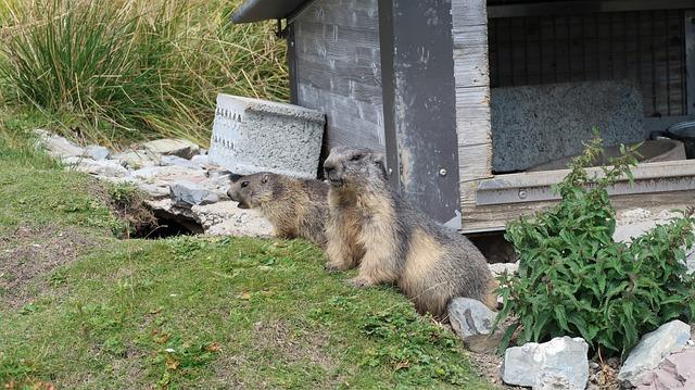 Marmotte, Rochers-de-naye, Suisse