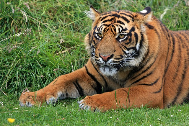 Tiger, Sumatran, Sumatran Tiger, Tiger Cub, Cub, Young