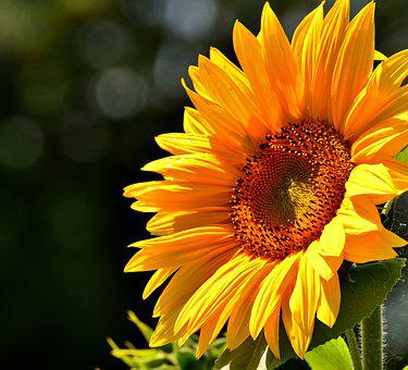Sun Flower, Summer, Garden, Blossom, Bloom, Yellow
