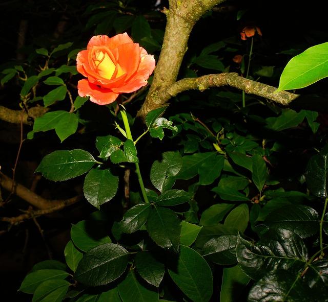 Blossom, Bloom, Rose, Red Rose, Shadow, Summer
