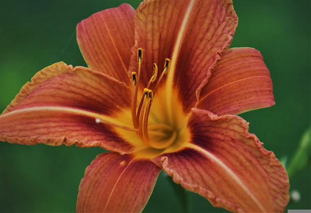 Summer, Lily, Orange, Petals, Blossomed, Daylily