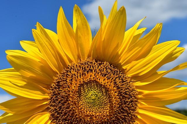 Sun Flower, Summer, Bright, Yellow, Blossom, Bloom
