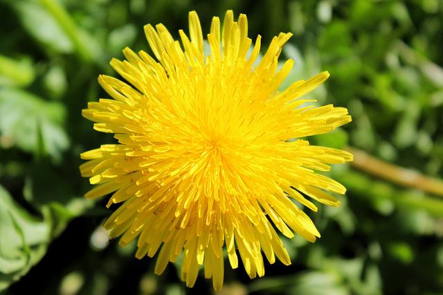 Dandelion, Yellow, Close, Plant, Summer, Flower, Garden