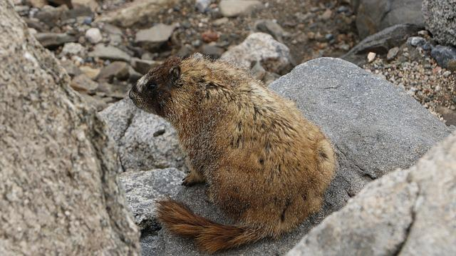 Marmot, Mountain, Summer, Colorado, Elevation, Evans