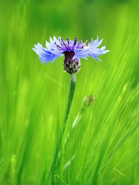Cornflower, Blue, Blossom, Bloom, Summer, Flower, Grain