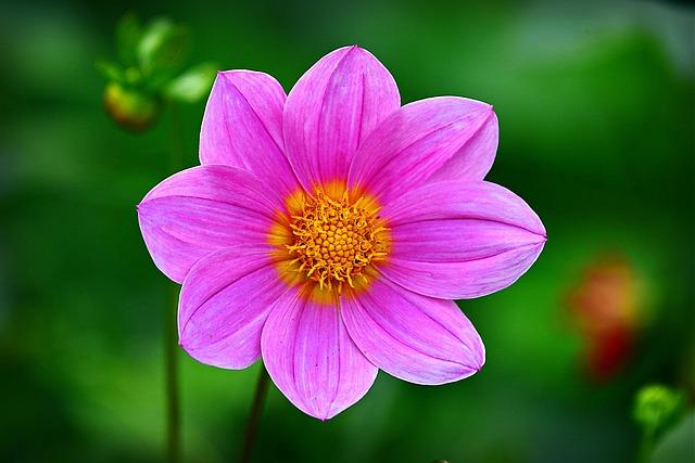 Cosmea, Flower, Plant, Petal, Summer, Blossom, Pink