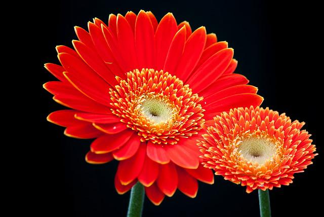 Gerbera, Flower, Summer, For You, Cut Flowers