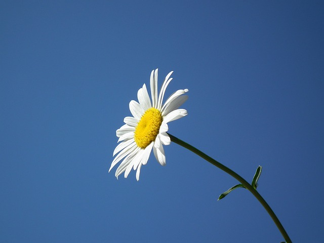 Flower, Bloom, White, Summer, Daisy, Flowers, Day, Sky