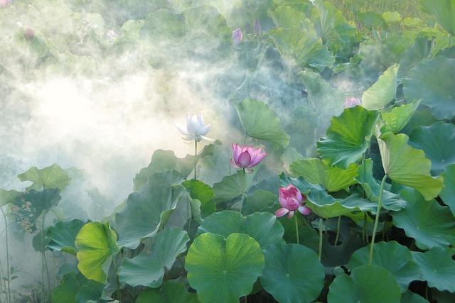 Lotus, Summer, Fantasy