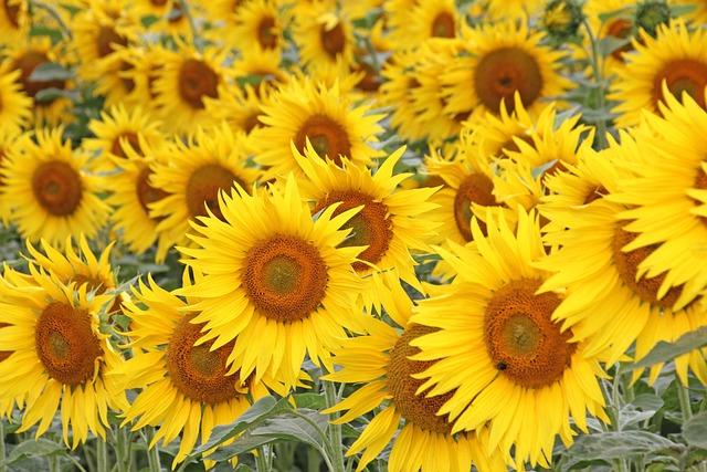 Flower, Plant, Nature, Summer, Floral, Sun Flower
