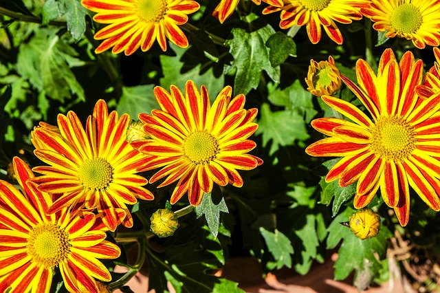 Flowers, Gazania, Colorful, Summer Flower