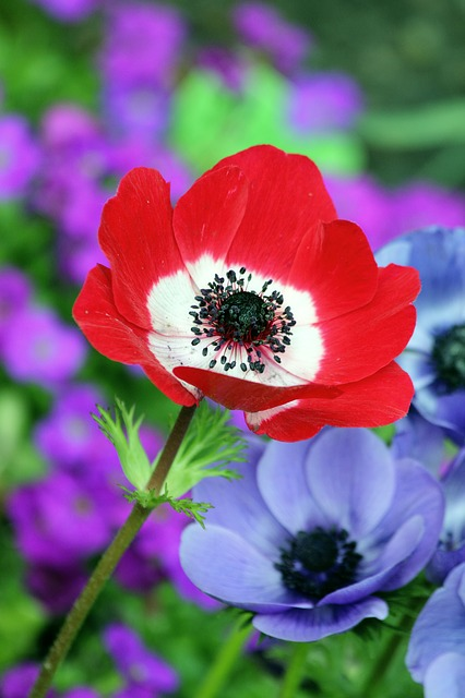 Poppy, Red, Nature, Field, Spring, Summer, Flower