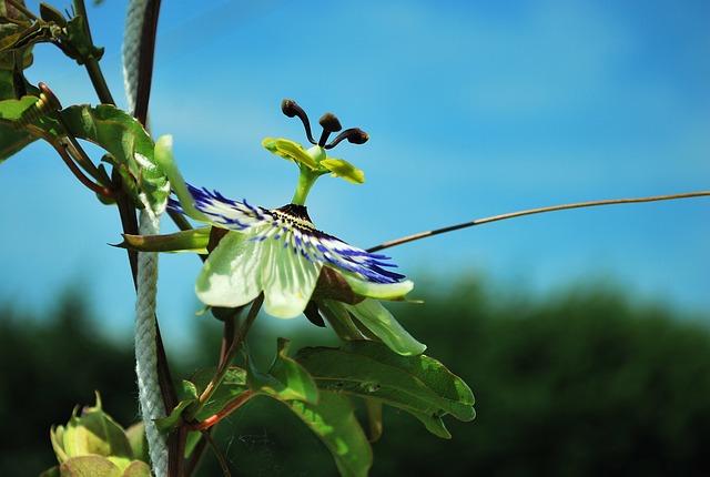 Flower, Passionflower, Summer, Passion Flower, Open