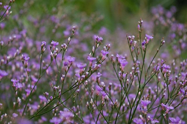 Beach Lilac, Trockenblume, Summer Flower, Purple