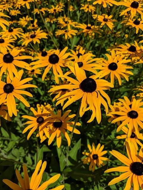 Flowers, Blackeyed Susan, Summer, Nature, Yellow