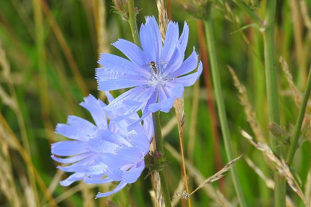 Chicory, Blue, Flowers, Summer, Wild Flower
