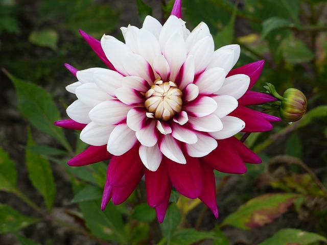 Dahlia, Summer, Plant, Flower, Garden, Colors