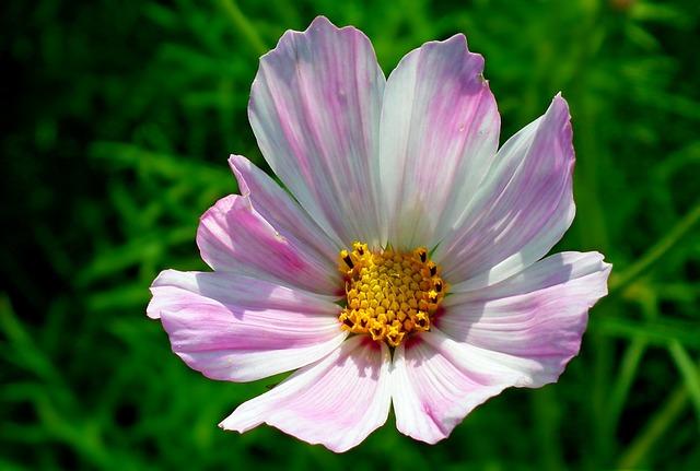 Nature, Summer, Plant, Flower, Kosmea, Garden