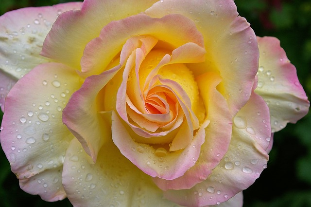 Gloria Dei, Rose, Garden Rose, Blossom, Bloom, Summer