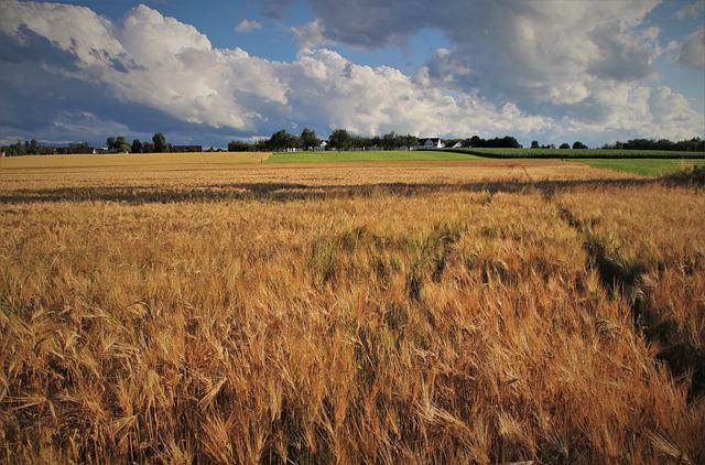 Wheat, Summer, Grow, Corn, In The Evening, Photo