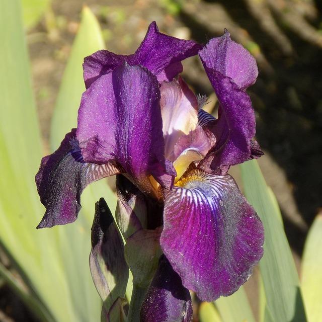 Iris, Flower, Summer