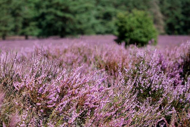 Heather, Purple, Landscape, Summer, Field
