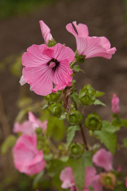 Lavatera, Flower, Pink, Summer, Dacha