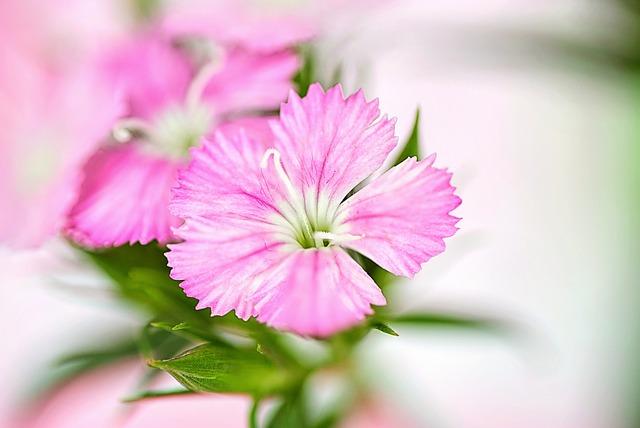 Nature, Flora, Flower, Leaf, Summer, Pink, Macro