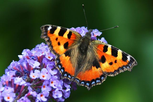 Butterfly, Summer Lilac, Buddleja Davidii, Garden