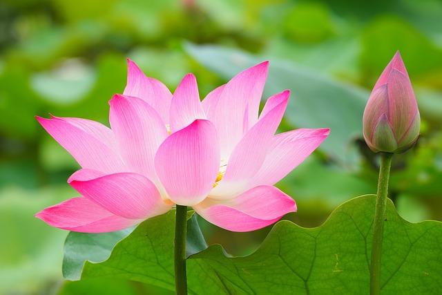 Botanical Garden, Lotus, Taipei, Taiwan, Summer, Flower