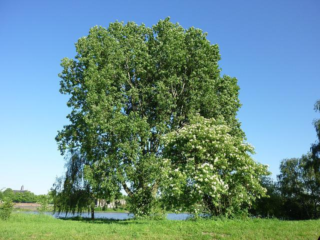 Tree, Summer, Monheim Rhine